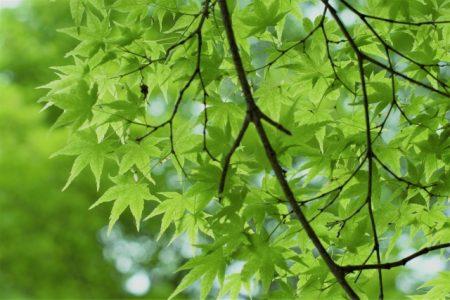 5月新緑のもみじ